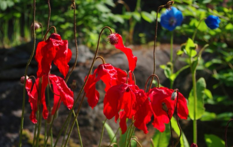 Meconopsis punicea