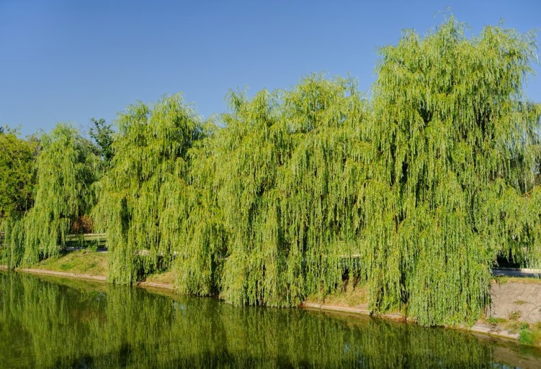 Willow of Willow