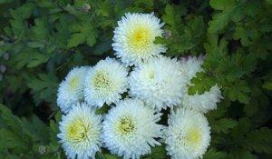 Chrysanthemum Umka